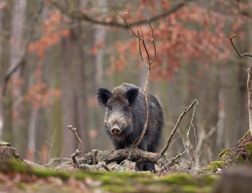 """Wildunfälle nehmen zu: """"Ich glaub' mein Wildschwein pfeift!"""""""