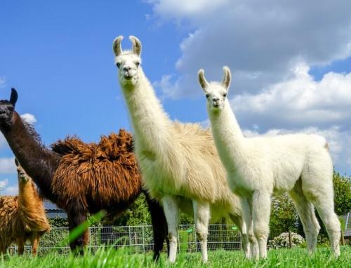 Von Prada bis Lama: Kreative Lösungen gegen die Corona-Pleite