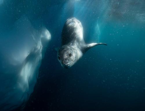 WWF Jahresbericht: Robben-Rekord und Wisent-Wunder